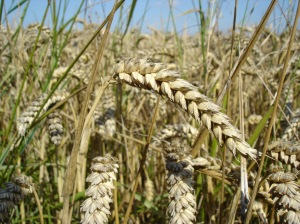 The consumption of wheat mimics opiate like receptors similar to those  activated by the use of morphine.  This results in a low-grade euphoria that leads to  a kind of wheat/grain addiction.  When one stops consuming wheat, they will experience withdrawal symptoms  associated with their decreased consumption.